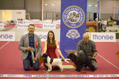 Zahircocker Dream Team Shape of You  - BEST BABY RADUNO SPANIEL ROMA 2017