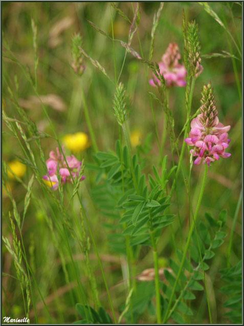 Sainfoin ou Esparcette ou Sainfoin à feuilles de Vesce ou Sainfoin d'Espagne, flore Bassin d'Arcachon (33)