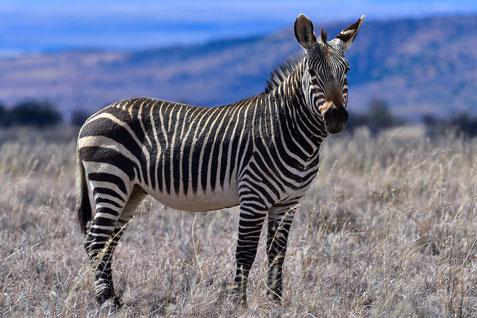 Eines der mittlerweile wieder über 750 Cape Mountain Zebra im Park
