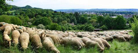 Unsere Merino-Herde am Kissel im Siebengebirge