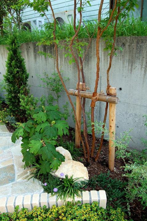 ヒメシャラの株立ち 樹皮が美しい