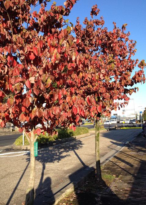 紅葉の素晴らしい植木3位 ハナミズキ