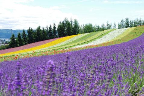 ラベンダー美しい富良野の丘の風景