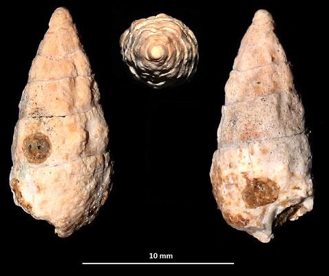 Cerithium cfr. lividulum, Sant'Agostino (Civitavecchia, RM)