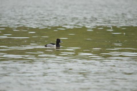 Das Ringschnabelenten-Männchen kurz nach der Entdeckung. Bild: Jaro