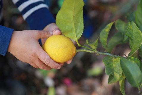 レモン レモンの木 庭 colobockle コロボックル
