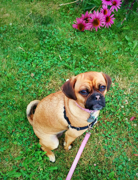 pugalier, dog, summer, dogportrait, posingforthecamera