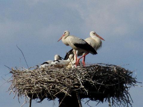 Das Nest wird so langsam zu klein für vier Junge und Mama & Papa
