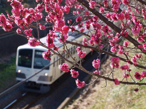 2月11日(2016) 梅の木と電車:西武多摩川線にかかる「いちご橋」の上から