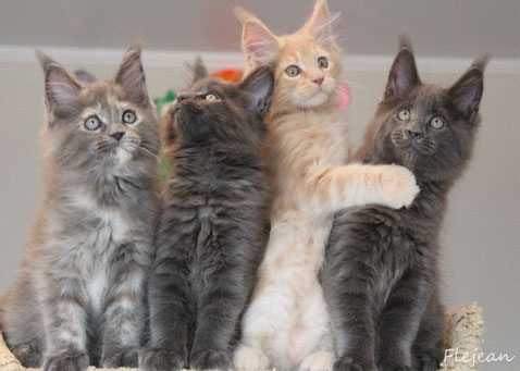 котята мейн-кун, питомник мейн-кунов, продажа котят, кошки