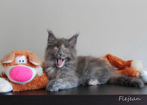котята мейн-кун, продаются котята, питомник мейн-кунов, котята