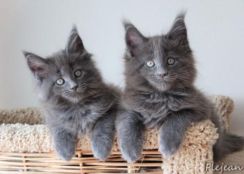 мейн-кун котята, питомник мейн-кунов, продажа котят в Москве