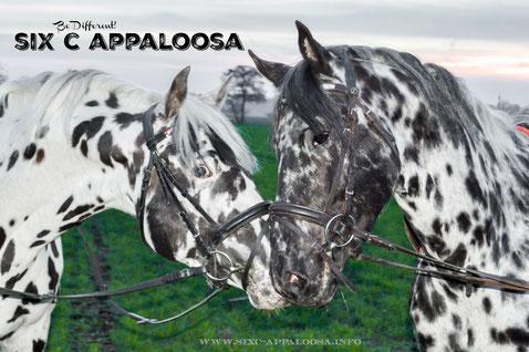 Appaloosa Old-Line Appaloosa Old-Foundation Appaloosa Sport Horse Appaloosa Allrounder Hunter Equitation Hunt Seat Springreiten Dressurreiten Vielseitigkeitsreiten Westernreiten by SIX C Appaloosa