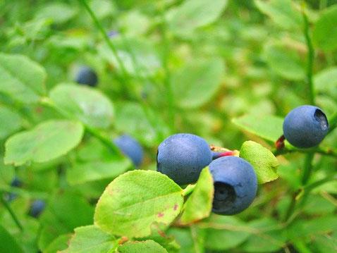 ビルベリーは、20cm~60cmの落葉性の低木で、青紫色の果実をつけ、ブルーベリーの果実よりも小さいが味わい深い。ブルーベリーの果実の果肉は薄い緑色であるのに対して、ビルベリーの果肉は赤色あるいは紫色であり、生の果実を食べると指や唇に濃い色が付く。ビルベリーの赤色の果汁は、子供に正しい歯の磨き方を示すためにヨーロッパの歯科医によって使用されている。