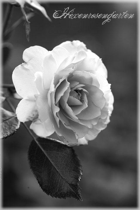 Rosenblog Hexenrosengarten  Rosiger Adventskalender Rose Bremer Stadtmusikanten Strauchrose Kordes schwarz-weiß
