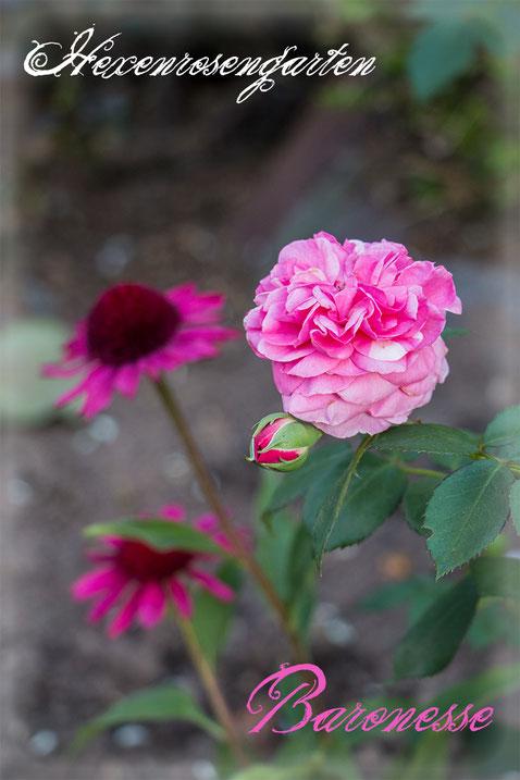 Rosen Rosenblog Hexenrosengarten Floribundarose Baronesse Tantau