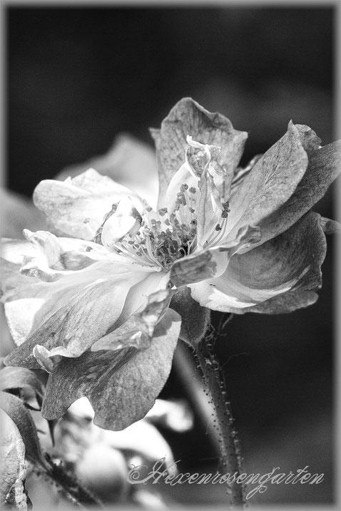 Rosenblog Hexenrosengarten  Rosiger Adventskalender Rose Ramblerrose Veilchenblau schwarz-weiß