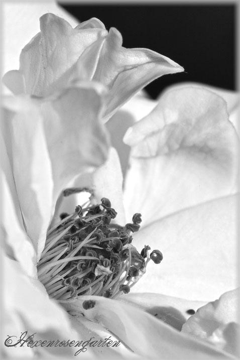 Rosenblog Hexenrosengarten  Rosiger Adventskalender Rose historische Polyantha Katharina Zeimet schwarz-weiß