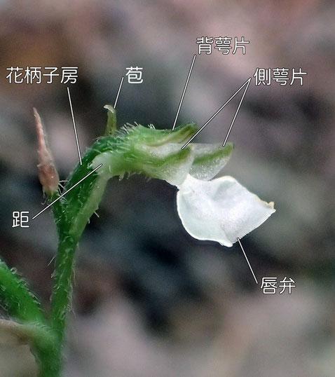 ハクウンランの花の構造 側面(背萼片、側萼片、唇弁、距、花柄子房、苞)