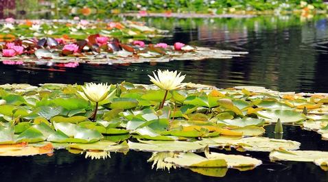 Gelbe Teichrose (Nuphar lutea)