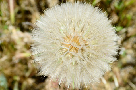 salsifis cultivé-Tragopogon porrifolius