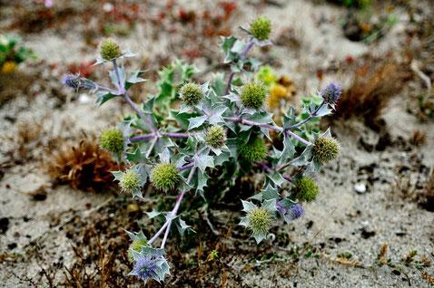 _DSC7051_Chardon bleu des sables-Eryngium maritimum-Espagne Plage de Ceiruga