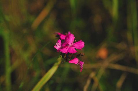 _DSC6333_Oeillet des Chartreux-Dianthus carthusianorum-Caryophyllaceae