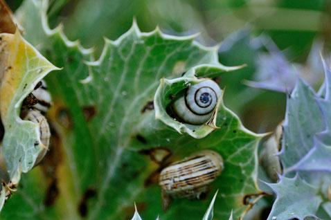 _DSC7053_Panicot marime-Eryngium maritimum-Espagne plage de Ceiruga