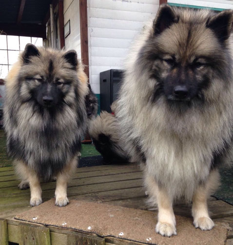 Wolfsspitz Hündinnen (Junghunde) sind stets aufmerksam