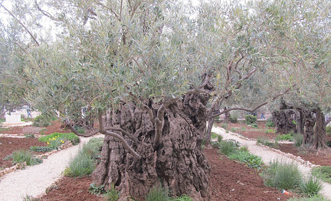 One of the odest trees in the garden