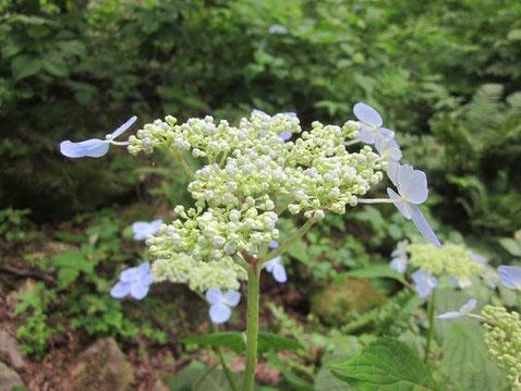 2014.7.9 蝦夷紫陽花(エゾアジサイ)         小樽赤岩山にて