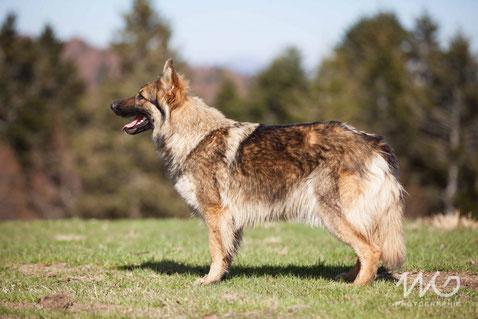 chien loup poil long