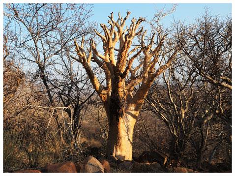 Cyphostemma de Namibie