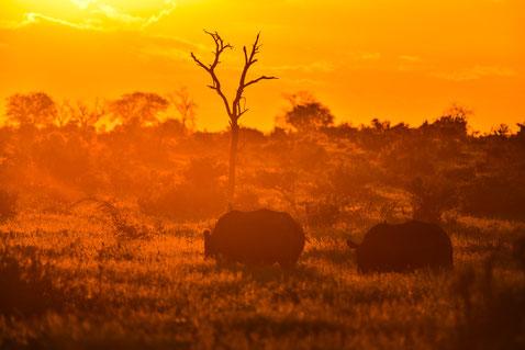 Traumhafter Sonnenuntergang mit Rhinos