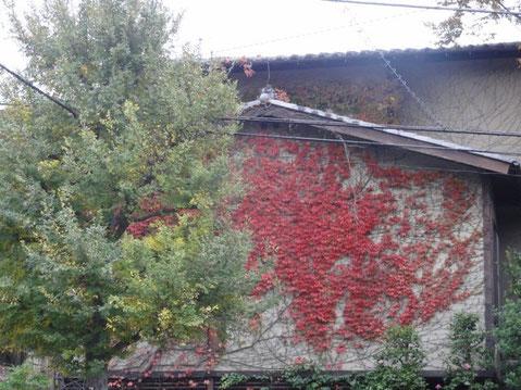 家の外壁にそうツタが紅葉、その前の銀杏の緑との対比がなんともいえずパチリ