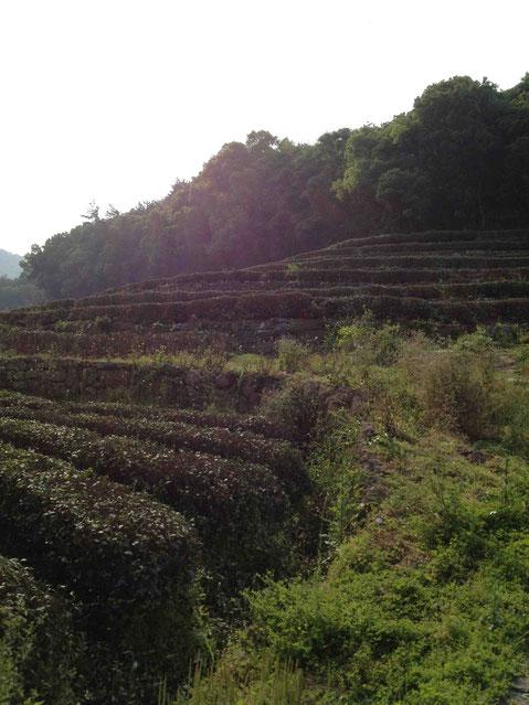 少し歩くと斜面に石垣が。ここも茶畑