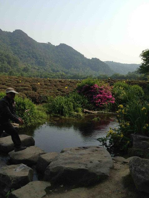 お茶畑が広がる龍井村。花もきれい