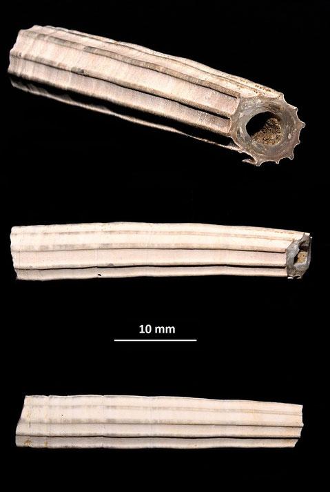 Dentalium sexangulum, Rio Rocca