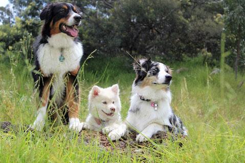 Trois chiens dans une prairie regardent vers la droite