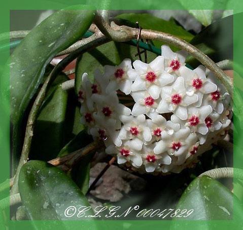 Voici ses nombreuses petites fleurs regroupées, elles sont très parfumées et en touchant les fleurs, c'est comme du velours...