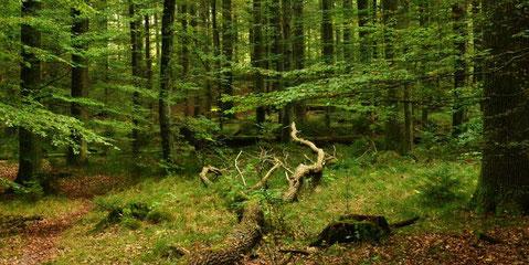 Mischwald mit zahlreichen umgefallen Stämmen