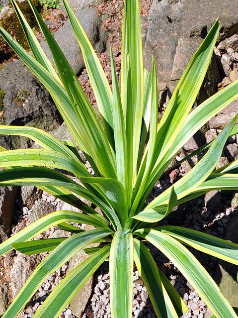 Yucca recurvifolia Lemon Sun