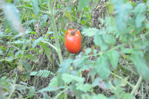 自生えトマト 種取り 自然栽培 農業体験 体験農場 すどう農園