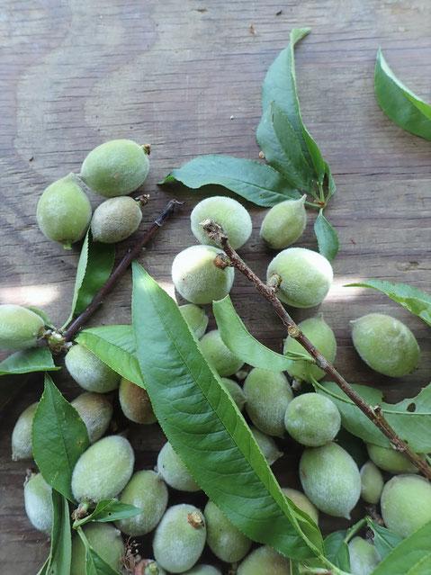 無農薬・自然栽培の桃の葉の宅配。