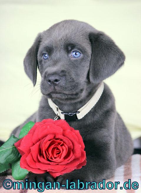 Unser charcoal Labrador Samu, hier mit ca. 6 Wochen, ein Traum!!!