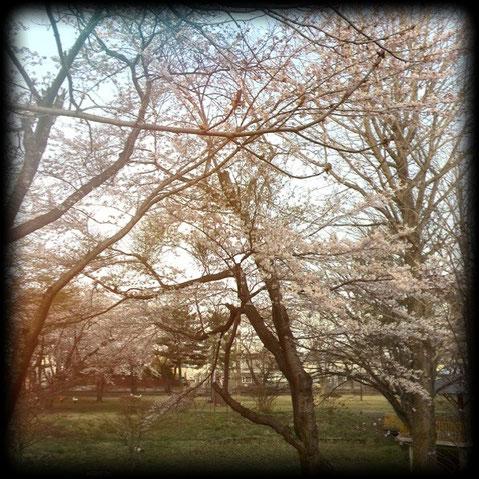三木野公園 開花🌸