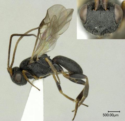 チビコウラコマユバチ Ascogaster quadridentata Wesmael, 1835