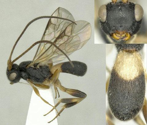 パーキンスコウラコマユバチ Ascogaster perkinsi Huddleston, 1984