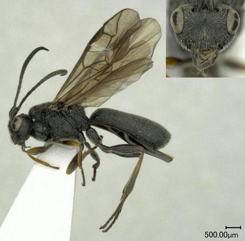 ヨネダコウラコマユバチ Ascogaster semenovi Telenga, 1941