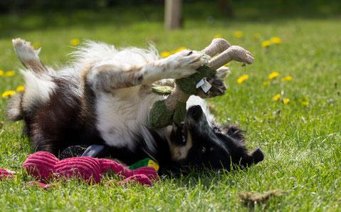 Hund nach Arthrodese OP
